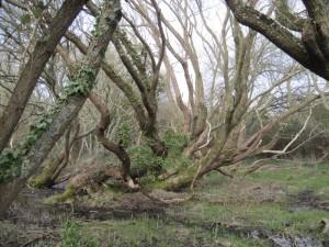 Mangrove-1