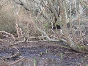 Mangrove-2